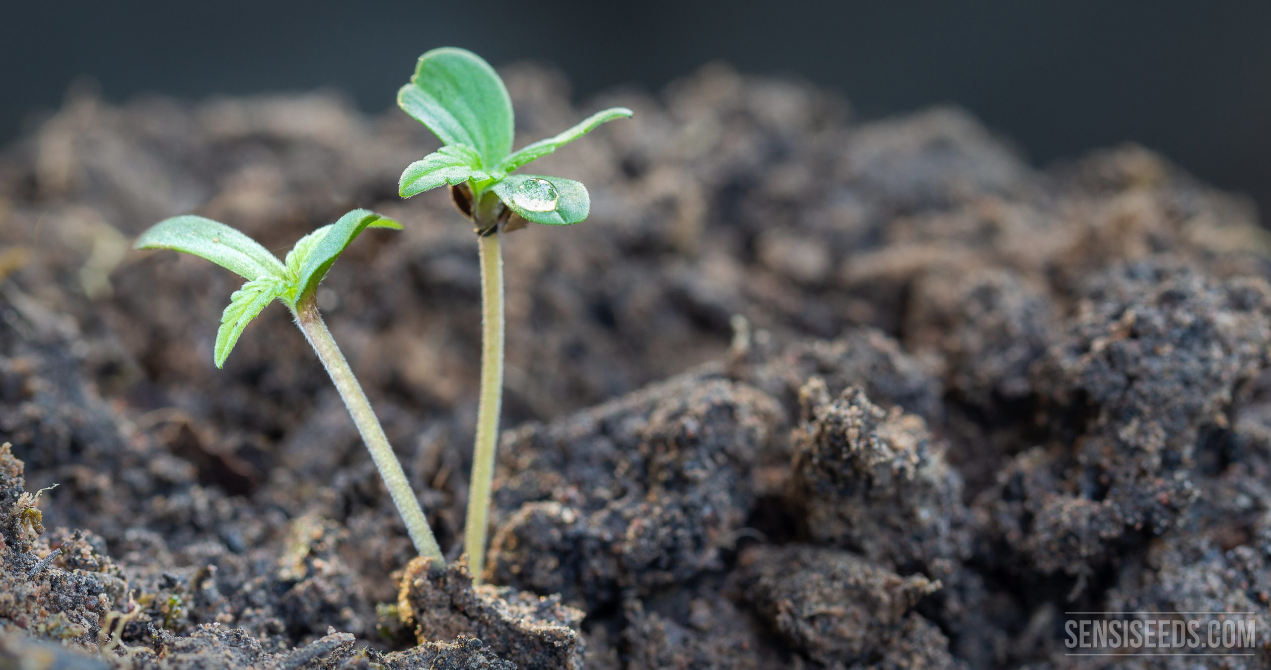 Cannabis seeds – Best one to cure health disorders