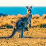 melbourne kangaroo feeding